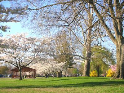 cherry blossoms(2).jpg