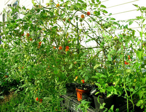 cherry tomato 9-11-08.jpg