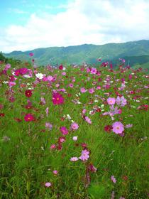 cosmos flowers.jpg