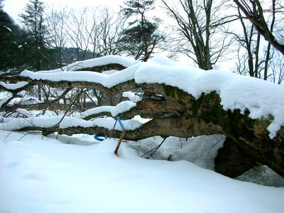 fallen tree(3).JPG