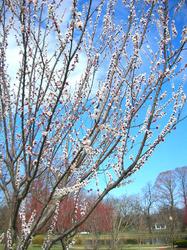 red plum tree.jpg