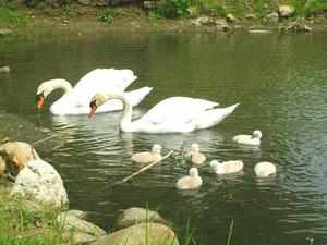 swan2008(2).jpg