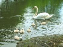 swan2008(4).jpg