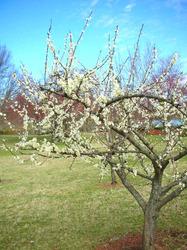 white plum tree.jpg