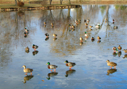 birds on a frozen pond.jpg