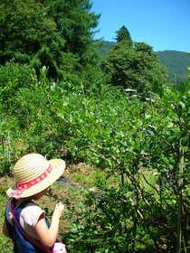 blueberry picking-3.JPG