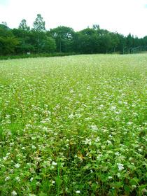 buckwheat flowers.jpg