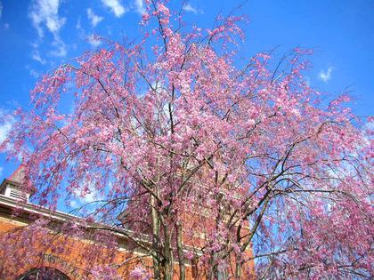 drooping cherry tree(1).jpg