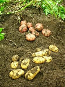 potato(2).JPG
