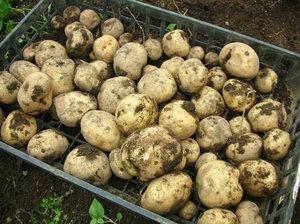 potato(3).JPG