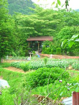 potato garden.jpg