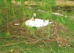 swan2008(1).jpg