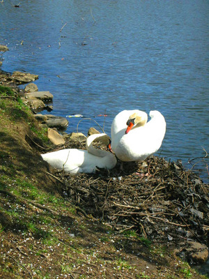 swan couple 2009.jpg