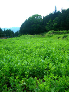 yomogi field.JPG
